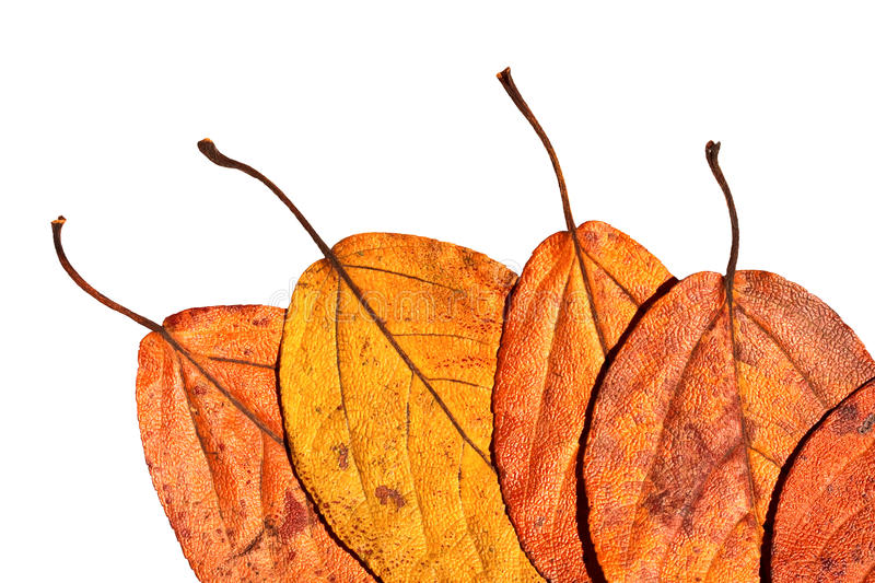 Download Five Leaves Painted In Bright Autumn Colours Stock Image - Image: 10789807