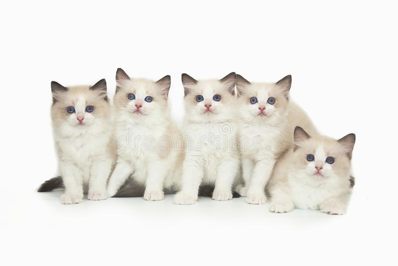 Five cute white ragdoll kitten on white background. Five little cute white ragdoll kitten with blue eyes on a white background. A lot of kittens on a white royalty free stock photography
