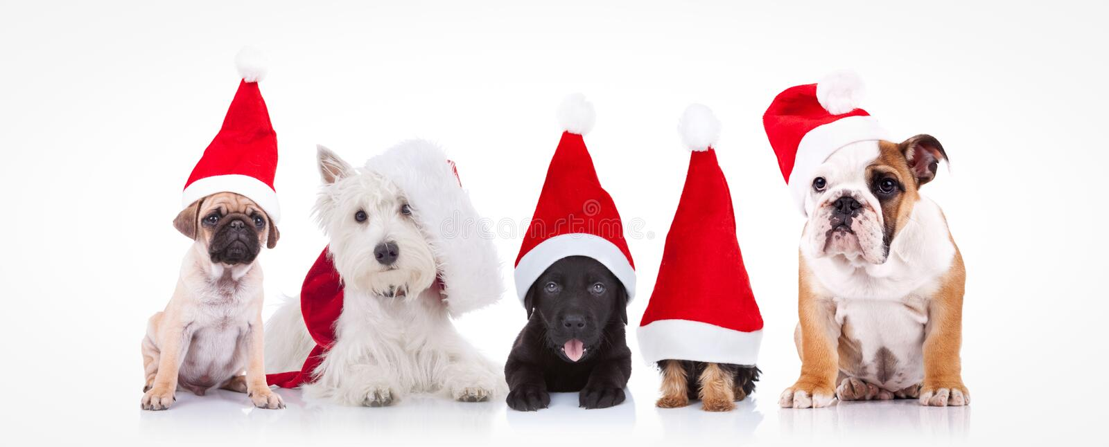 Five little dogs wearing santa claus hats stock images