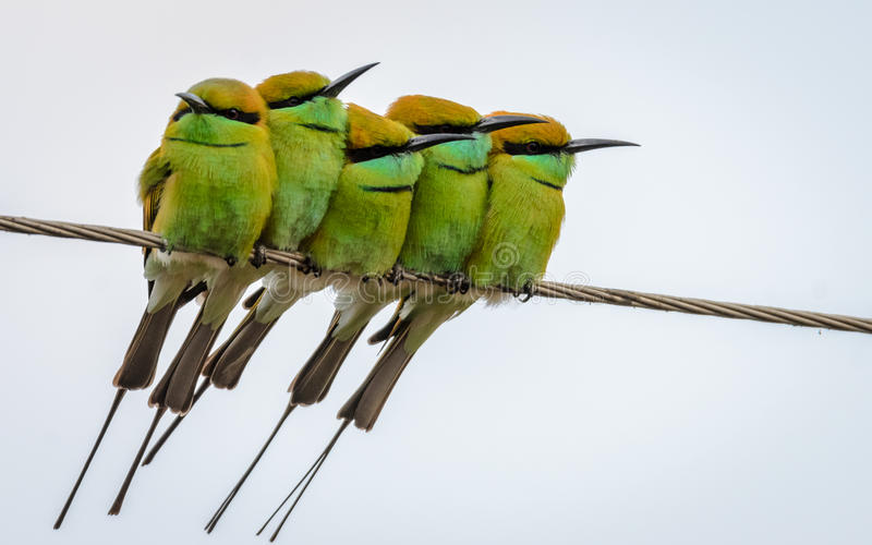 Five Little Green Bee eaters. Green Bee eaters, Merops orientalis, at Indore, Madhya Pradesh, India. WILD royalty free illustration