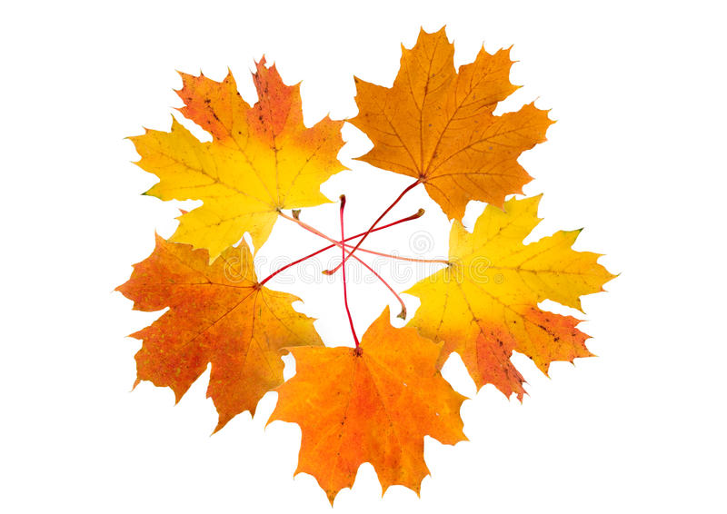Download Five maple autumn leaves stock image. Image of closeup - 10755511