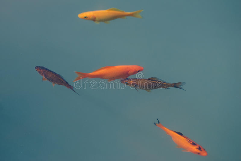 Five multi coloured fish swimming in cloudy blue water royalty free stock image