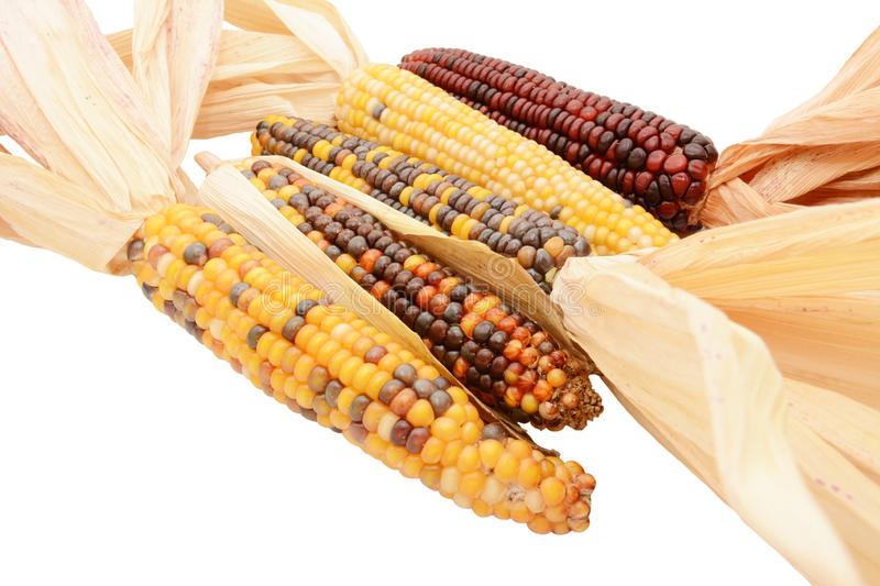 Five multicoloured ornamental flint corn cobs arranged diagonally. With red, yellow and brown niblets and dried maize husks, on a white background royalty free stock images