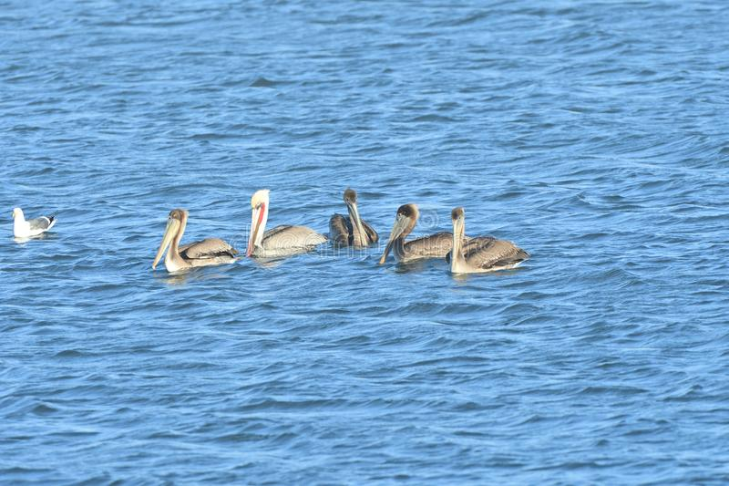 Five Pelicans in the middle of the lake stock photography