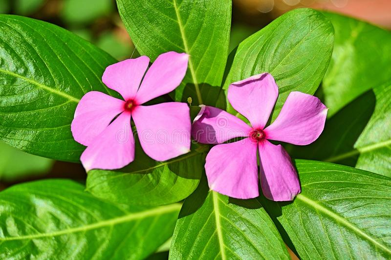 Pink Purple flowers on a green leaf plant. Five Petaled Pink Purple Flowers In a Green Leafed Plant with dead leaves at the bottom royalty free stock image
