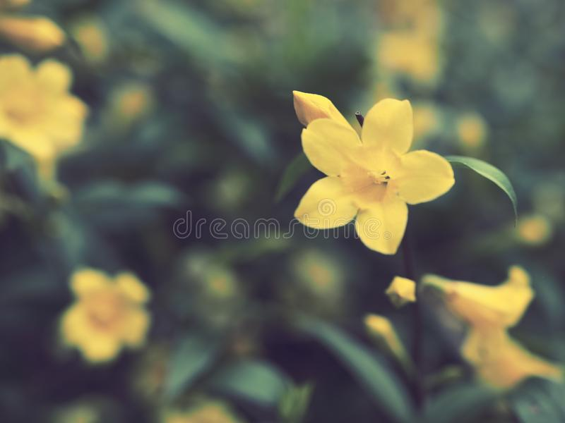 Five-petaled yellow flowers. Close up royalty free stock photo