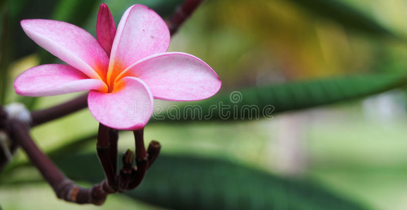 Five petals pink flower royalty free stock photo