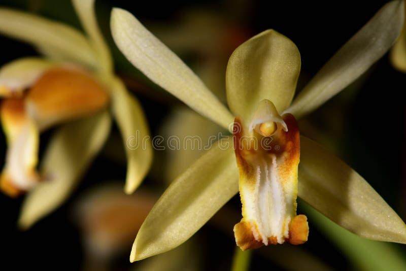Yellow wild orchid,dark background. stock photo