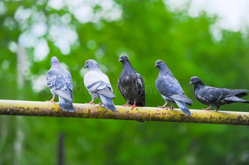 Five pigeon sitting on thick branch of tree stock images