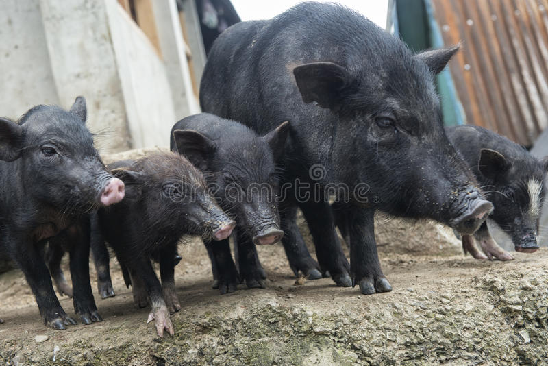 Five pigs royalty free stock photography