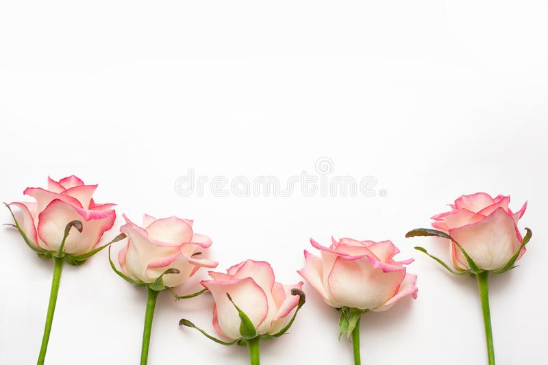 Five pink roses on a white background, beautiful fresh roses stock photos