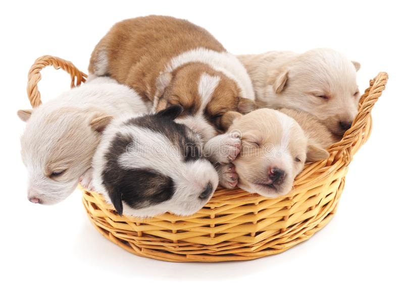 Five puppies in a basket. royalty free stock photo