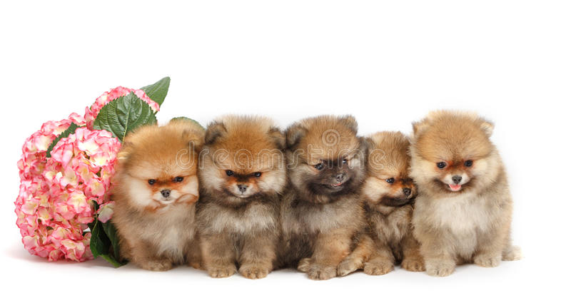 Five puppies of pomeranian on white background, isolated stock photos