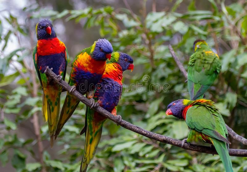 Five rainbow lorikeet sitting on a branch in front of an Illawarra Flame Tree. One lorikeet is looking back up at a group of the other lorikeets stock photography