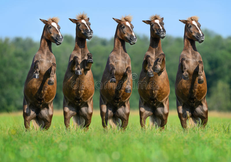 Five rear ponies stock image