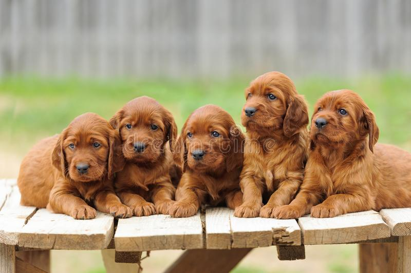 Five red setter puppies lie on wooden table royalty free stock photography