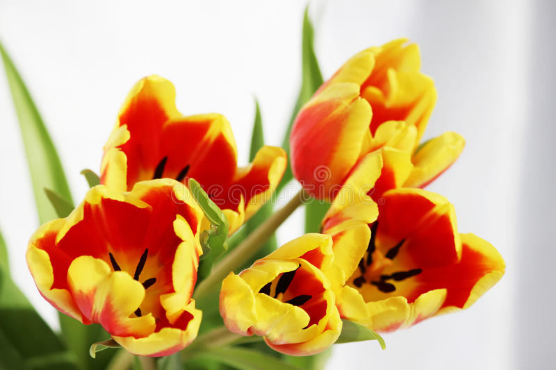 five red tulips with yellow stripes on a white background. stock photos