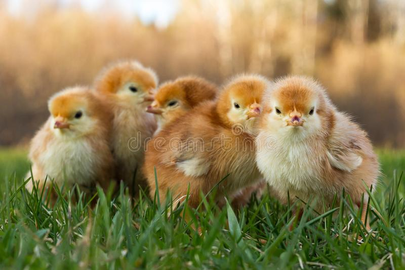 Five Rhode Island Red Chicks Huddled Outdoors stock photo