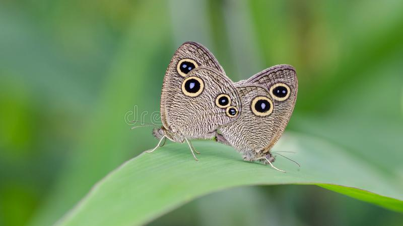 Five rings butterflies stock images