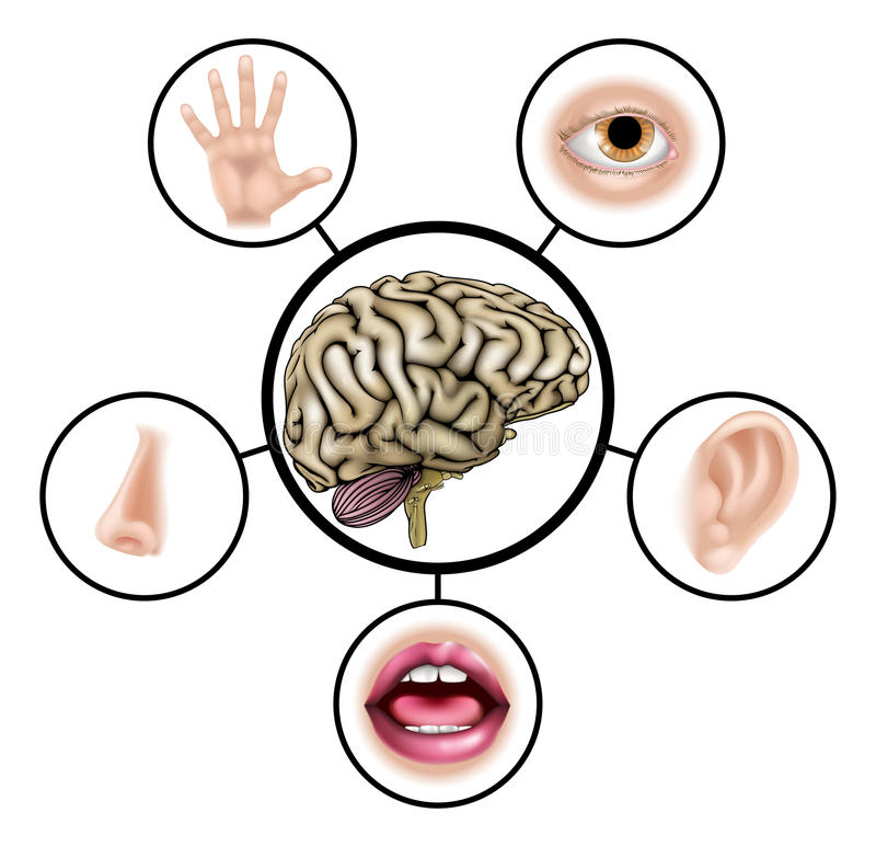 Five senses brain stock illustration
