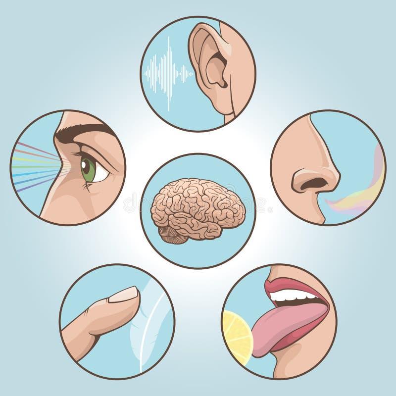 Five senses set. A set of six anatomical images vector illustration