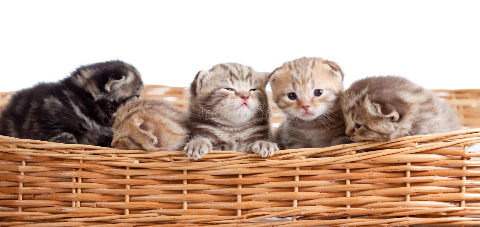 Five small scottish kittens in basket stock images