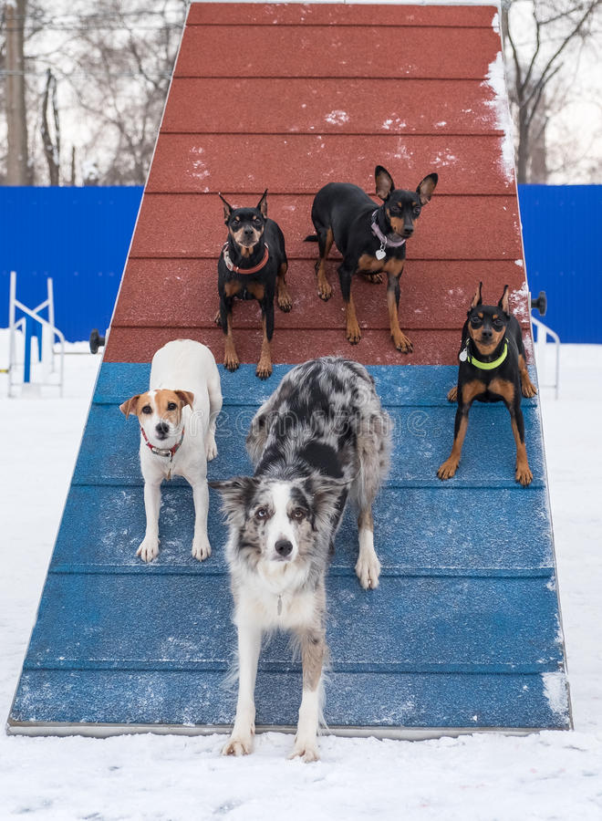 Five sporting dogs on agility a-frame stock photo