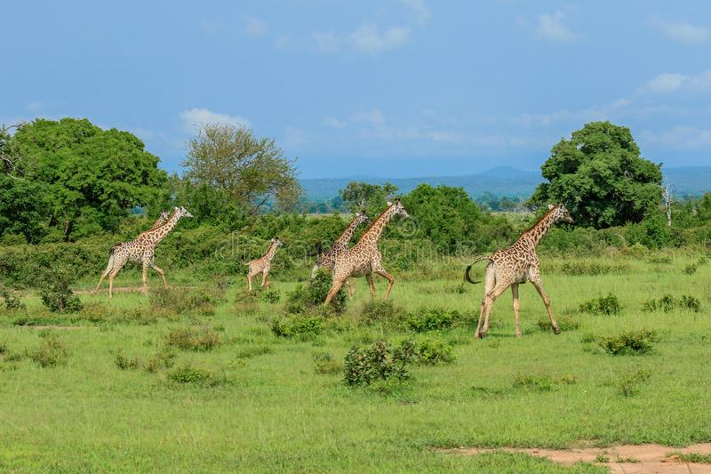 Long Neck Giraffe in the Mikumi National Park, Tanzania royalty free stock image