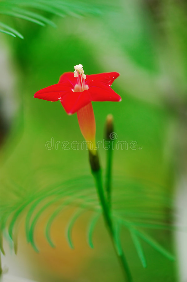 Download Five-star flower stock image. Image of star, nature, leaves - 5365779