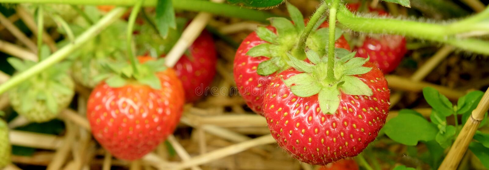 Five strawberry growing in a strawberry patch royalty free stock photo