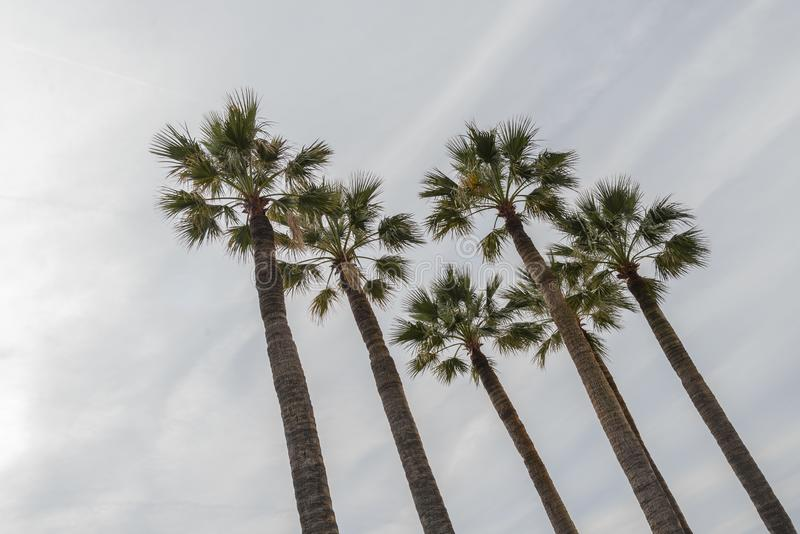 Five tall  palms isolated with lineal clouds sky. stock photography