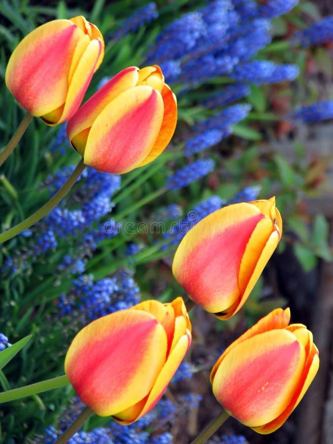 Five tulips stock image