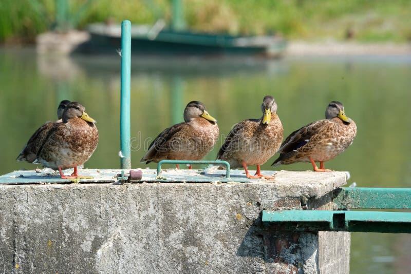 Five Wild Duck watching stock photo