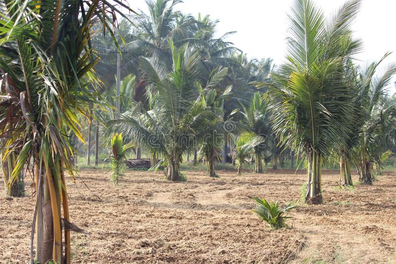 A five year old coconut trees in a good condition. Growing at rapind phase on a sandy field in india. Years behind for the yield stock images