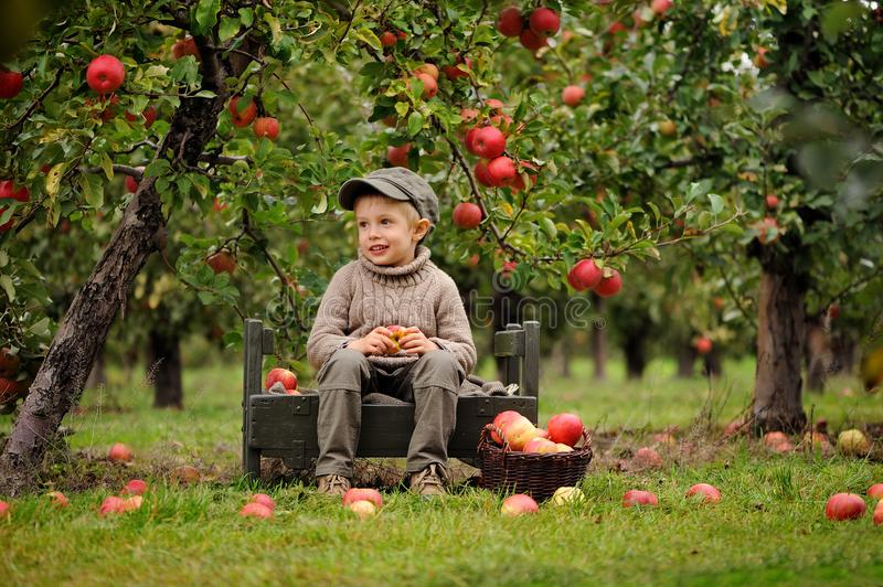 A small smiling boy in an apple orchard sits and holds an apple. A five years old boy is sitting on the bench in apple orchard, red apples are all around on the stock photo