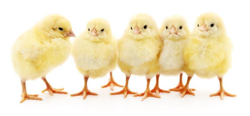 Five yellow chickens. Five yellow chickens on white background royalty free stock photos