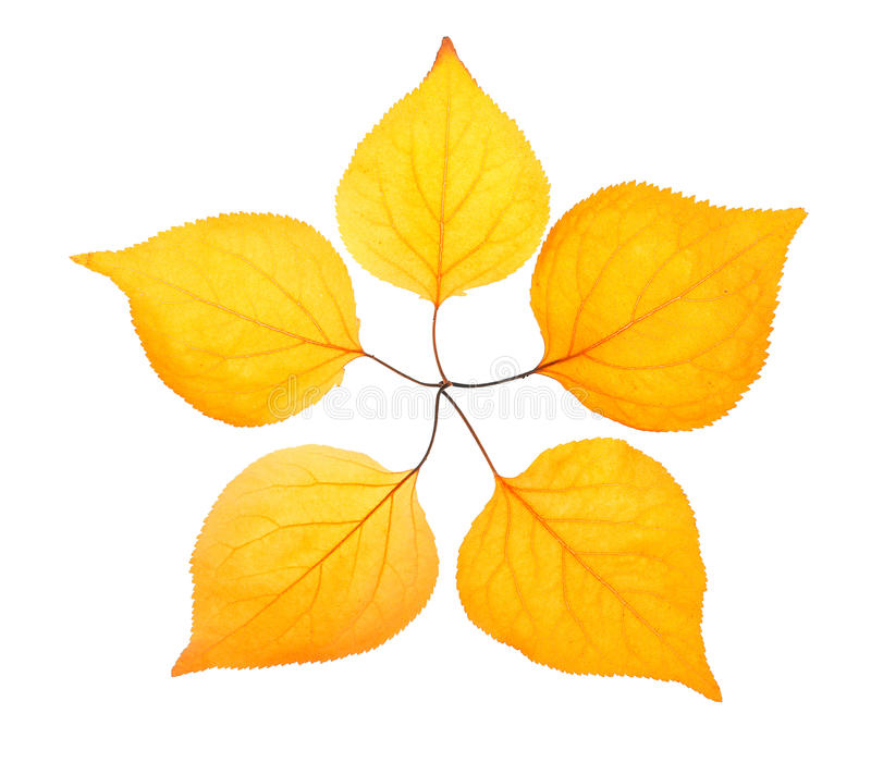 Five Yellow Leaf Placed Like A Pentactinal Star Royalty Free Stock Images