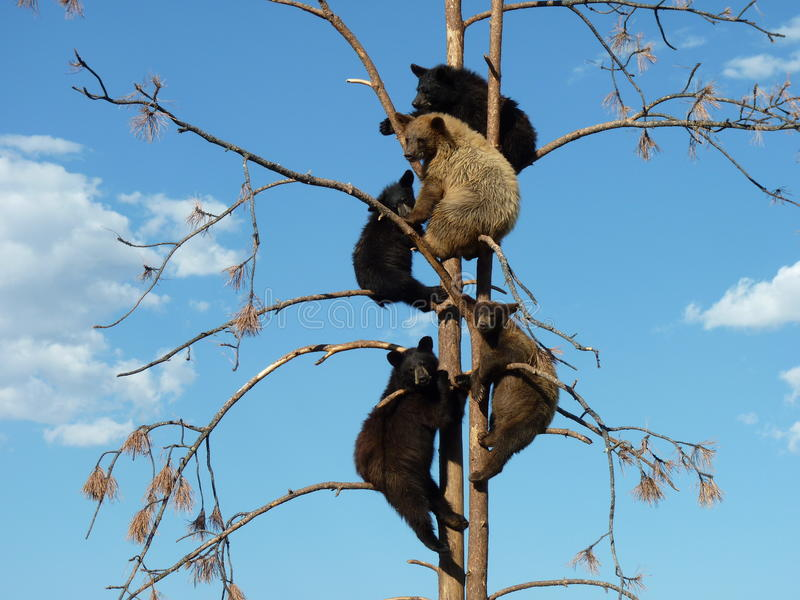Five Young Bears in a Tree stock image