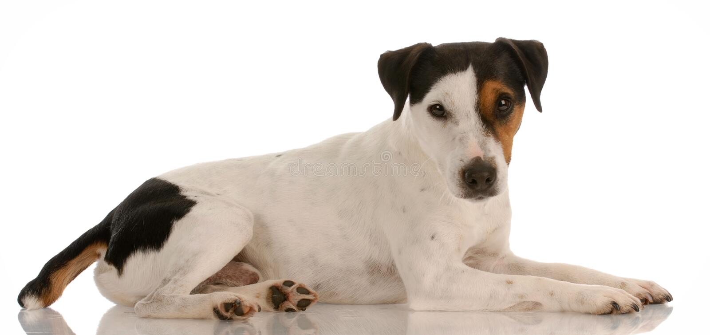 Fixation de chien terrier de Jack Russel image stock