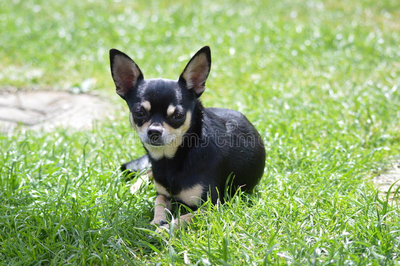 Fixation de chiwawa images stock