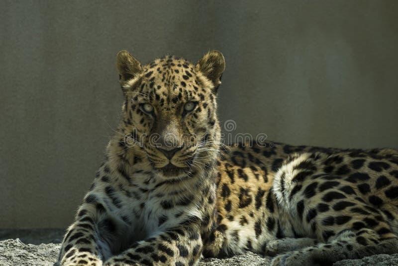 Fixation de léopard image libre de droits