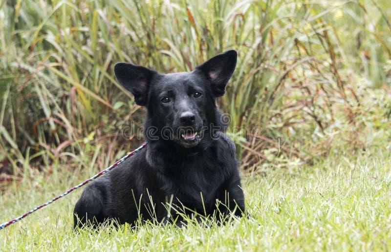 Fixation noire de chien de mélange de berger allemand image stock