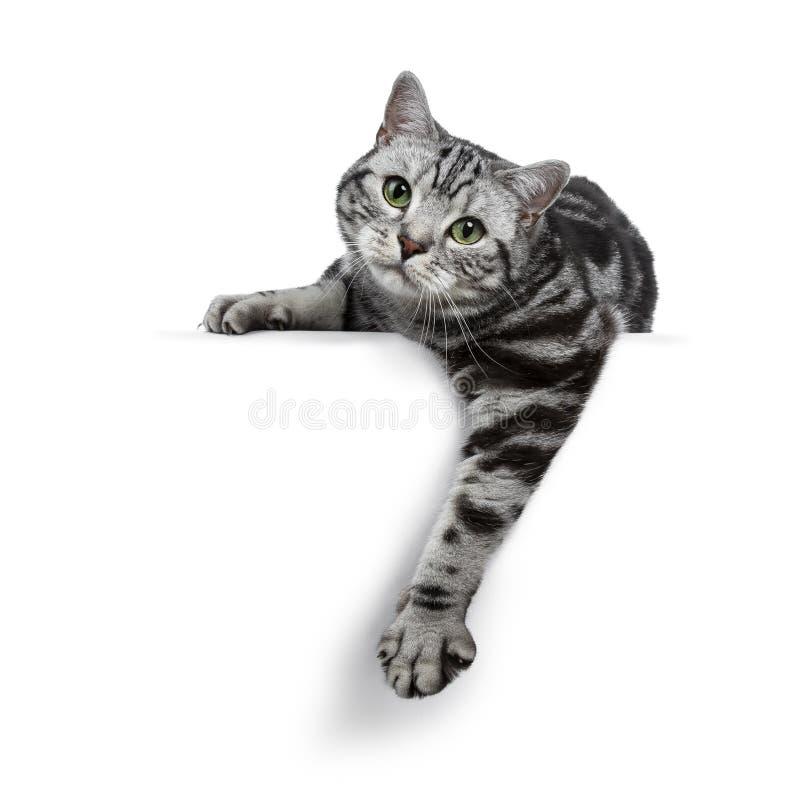 Fixation tigrée argentée noire belle de chat des Anglais Shorthair/accrochant au-dessus du bord d'isolement sur le fond blanc et  image stock