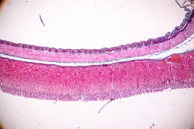 Fizjologia żołądek dla edukacji w laboratorium obrazy stock