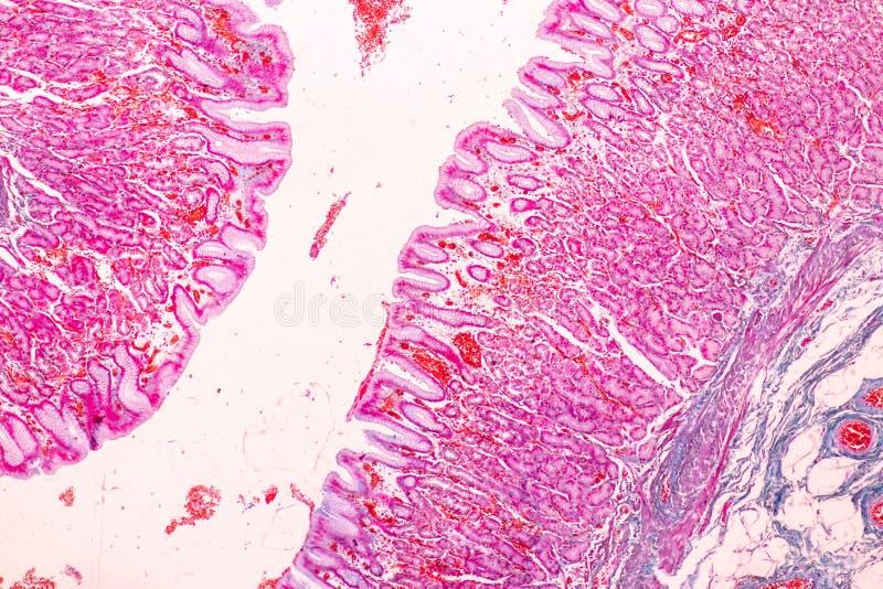Fizjologia żołądek dla edukacji w laboratorium zdjęcie royalty free
