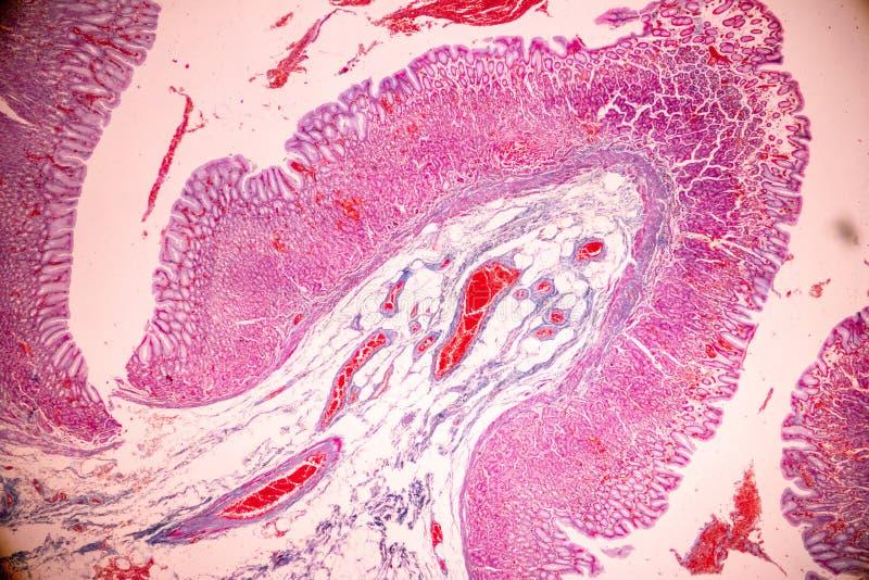 Fizjologia żołądek dla edukacji w laboratorium zdjęcie stock