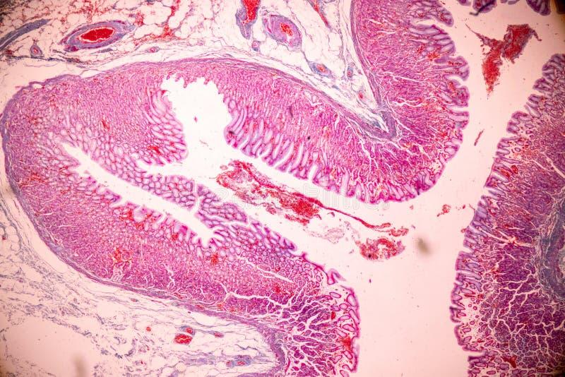 Fizjologia żołądek dla edukacji w laboratorium obraz stock
