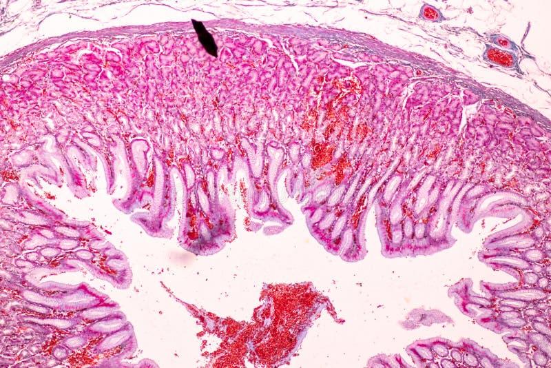Fizjologia żołądek dla edukacji w laboratorium obrazy royalty free