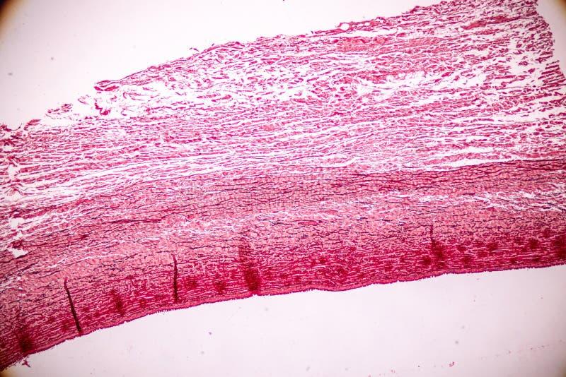 Fizjologia żyły dla edukacji w laboratorium i arterie fotografia royalty free