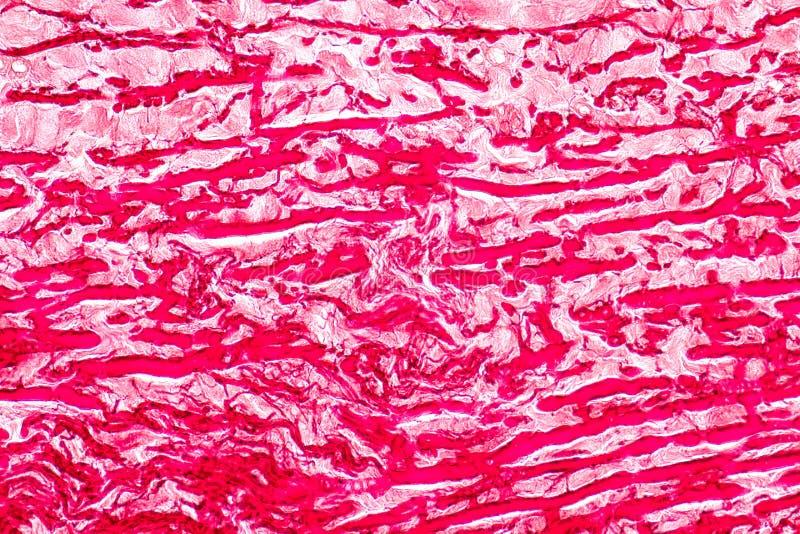 Fizjologia żyły dla edukacji w laboratorium i arterie zdjęcia royalty free